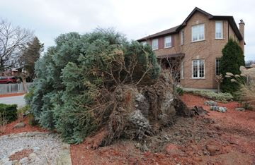 Uprooted Tree-Wind damage